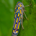 Leafhopper (family Cicadellidae) by Nash Turley's nature photography