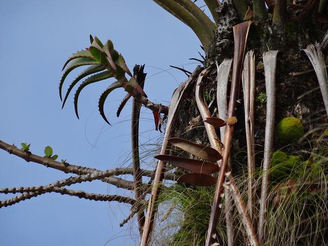 Aloe sp. Ribaue on Encephalartos