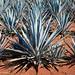 Agave plantation [0076] por josefrancisco.salgado