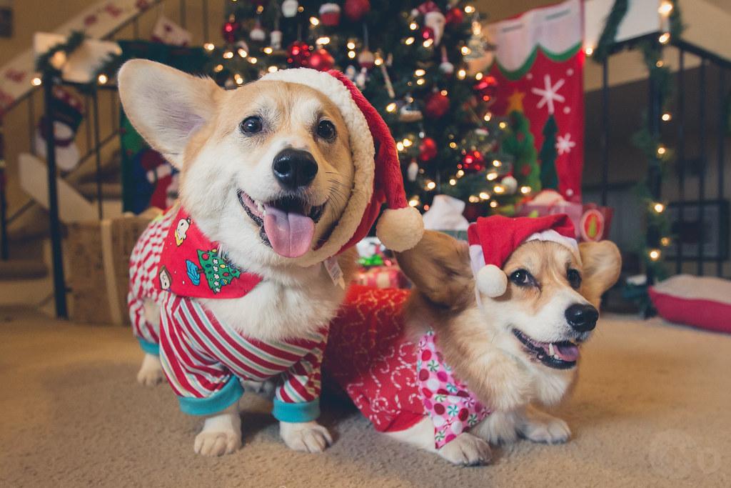 356/365 - 22 December 2013: Merry Corgmas!