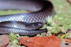 Small-Eyed Snake