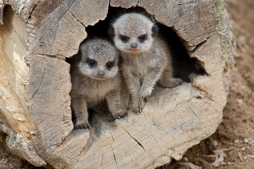Meercat babies
