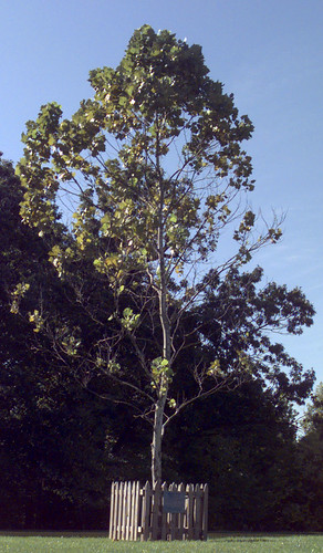 A Moon Tree sycamore at NASA's Goddard facility in Maryland. (Courtesy NASA)