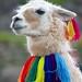 Proud Llama by Della Huff Photography