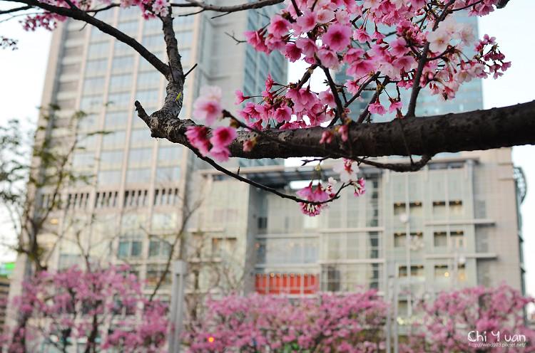 松智公園寒櫻09.jpg