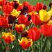 Tulipan Britzer Garten by Alter Ego 1975