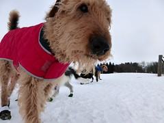 dog breed, animal, dog, pumi, snow, pet, mammal, lakeland terrier, welsh terrier, terrier, airedale terrier,