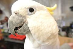 african grey(0.0), cockatoo(1.0), animal(1.0), parrot(1.0), pet(1.0), sulphur crested cockatoo(1.0), fauna(1.0), close-up(1.0), beak(1.0), bird(1.0),