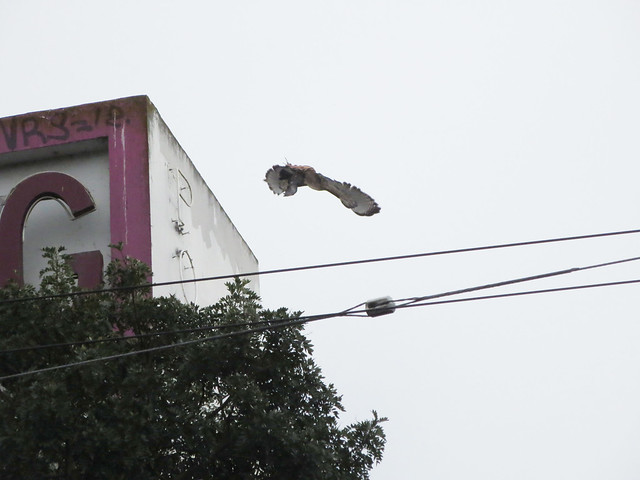 hawk with prey in claws flies off Amoeba Music roof; The Haight, San Francisco (2014)