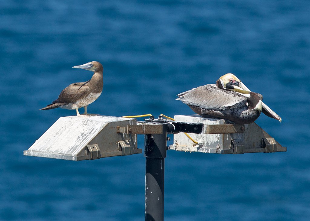 Brown Booby & Brown Pelican 2014-02-01