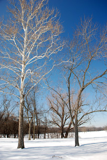 White Birch, Big Bend Lake Forest Preserve, Des Plaines, March 6, 2014 24 full bpx