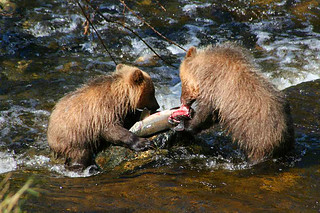 Grizzly Bear Cubs feeding on Salmon in Knight Inlet, British Columbia, Canada. Photo Grizzly Bear Lodge & Safari: www.grizzly-bear-watching.com