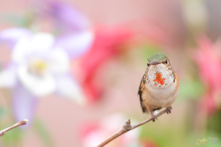 Allen's Hummingbird 032714