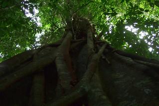 Beg tree in Taman Negara