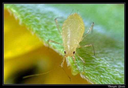 Myzus persicae sur Lepidium draba