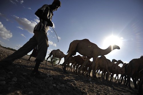 Camels herded to water in Wajir, northern Kenya