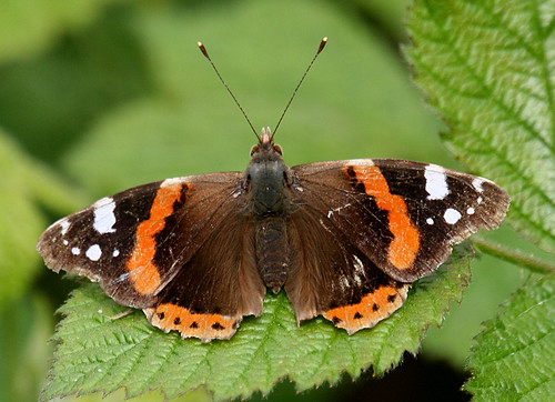 Red Admiral Vanessa atalanta Tophill Low NR, East Yorkshire May 2014