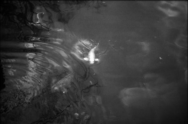 金鯉 - Golden Carp