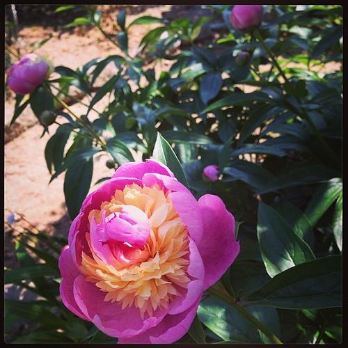 庭の芍薬が咲いた