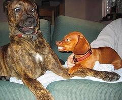 Dog-Fight-domestic-animals-4595960-500-375