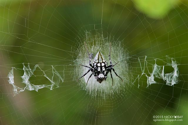 Black orb web spider (Neogea nocticolor) - ESC_0096