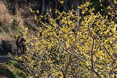 駒高地区に咲く蠟梅