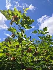 Sandra's Alaska Photography: May 2016 Salmon Berry Blossoms...
