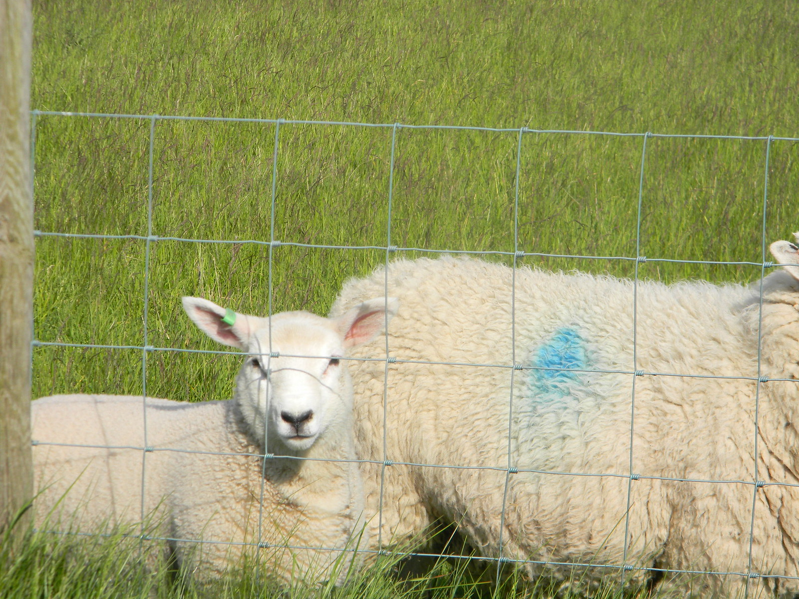 Sheep watch Salisbury to Amesbury via Stonehenge