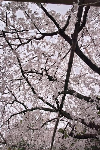 【写真】2013 桜 : 車折神社/2019-09-15/IMGP8802