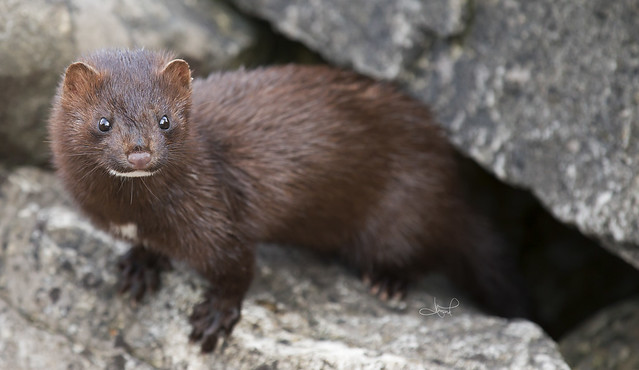 American Mink, Centre Island, Toronto, ON from Flickr via Wylio