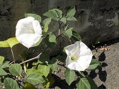 flower(1.0), datura inoxia(1.0), leaf(1.0), ipomoea alba(1.0), plant(1.0), nature(1.0), wildflower(1.0), flora(1.0), green(1.0), petal(1.0),