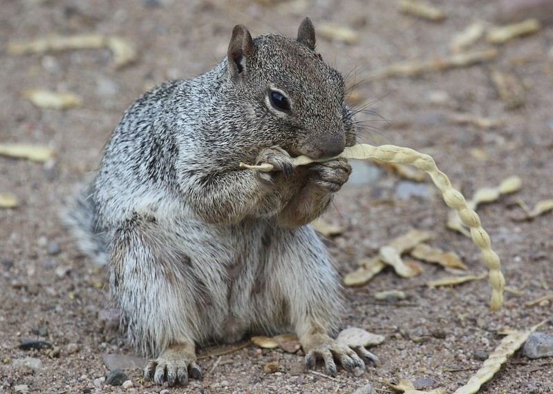 Rock Squirrel Processing a Mesquite Bean by Lance and Erin