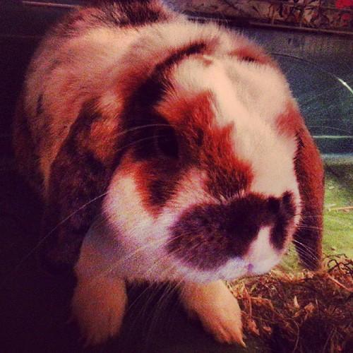 #lapin #nain #belier #chou #love #rabbit #bunny #bunnystagram #rabbitstagram #petstagram #pets #pet#animal #animaux #animastagram #beauté #naturelle