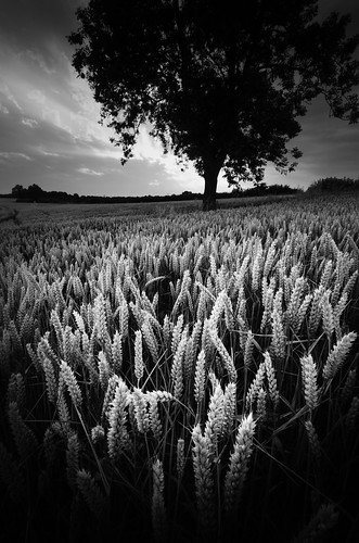 bw tree field mono corn nikon wheat grain northamptonshire cereal harvest crop crops hss greataddington d7000