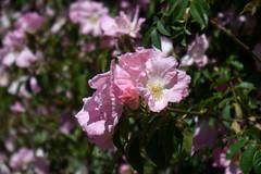 Rose (~f8) D sharpened