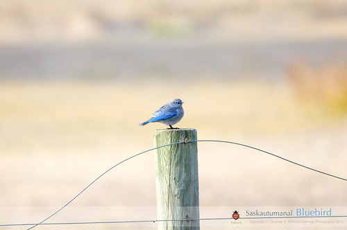 SaskAutumanal Mountain Bluebird