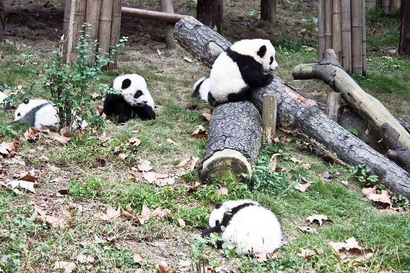 Oseznos panda intentan trepar un tronco en Chengdu.