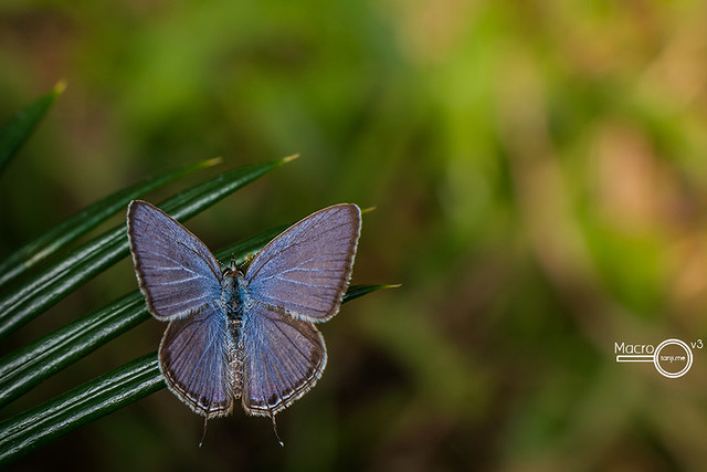 Cycad Blue Butterfly 1 (Chilades pandava)