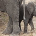 Small photo of Baby African elephant in a safe place.