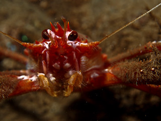 long armed squat lobster