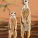 Meerkats, the next generation. by David Schenfeld