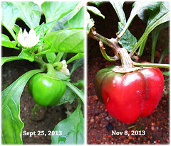 Red Capsicum (Red Bell Pepper) at our backyard, 8 Nov 2013