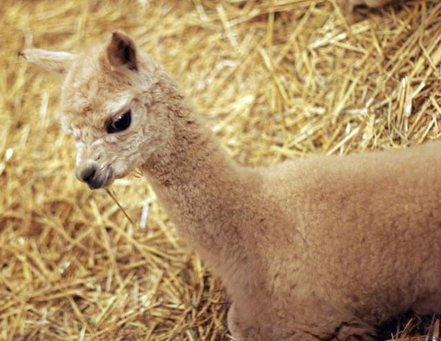 alpaca-baby