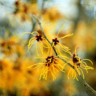 Japanese witch hazel