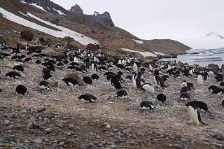 063 Brown Bluff  Adeliepinguins