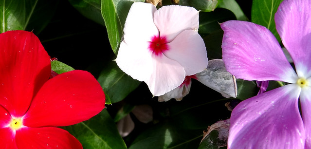 red, white and lavender Madagascar periwinkle