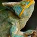 Parson's Chameleon (Cathy Harlow)