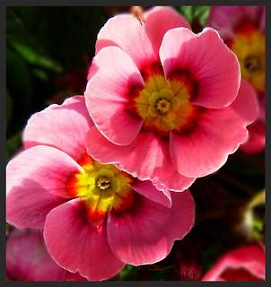 Pink Primula:)