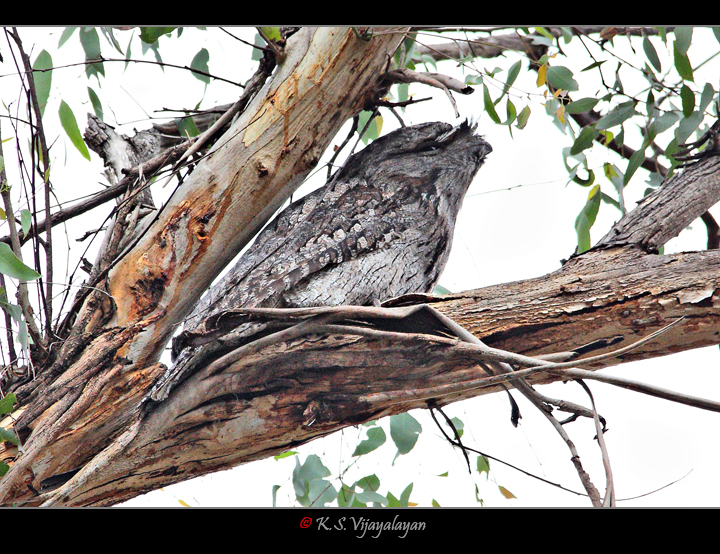 Tawny Frogmouth, Australia