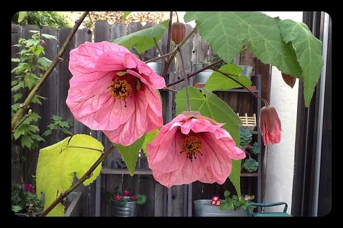 Abutilon flowers.